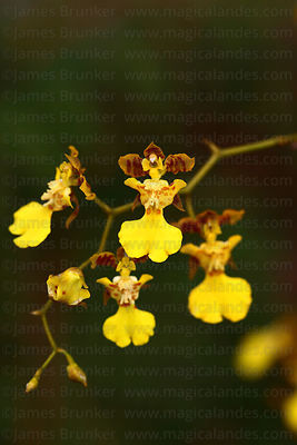 "Oncidium genus ""dancing queen"" orchid"