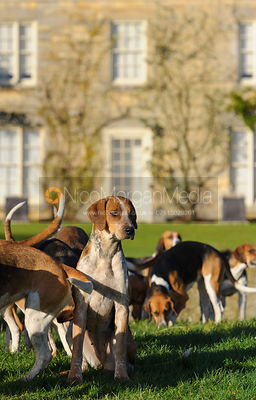 Belvoir foxhounds at the meet - The Belvoir Hunt at Stonesby, 19/12