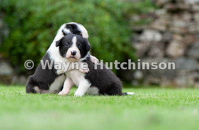 Border collie puppies hugging each other. North Yorkshire, UK.