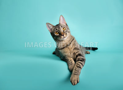 Tabby cat on a turquoise background