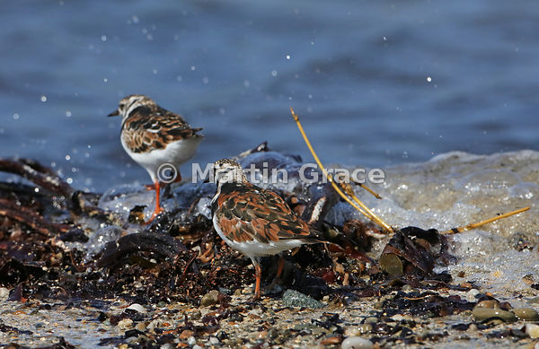 Ruddy Turnstone (Arenaria interpres) on the shoreline at Bigton Wick, Mainland South, Shetland