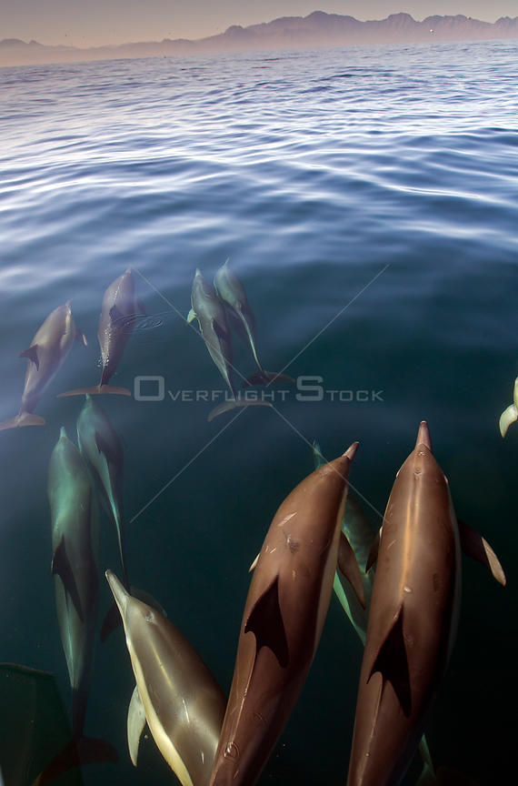 Common dolphin (Delphinus delphis) False Bay, Cape Town, South Africa