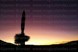 Puya raimondii in flower at sunset, near Comanche, Bolivia