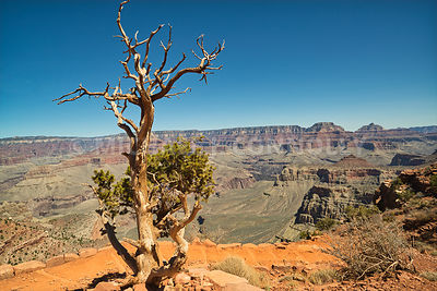 Trees Watch Over the Grand Canyon