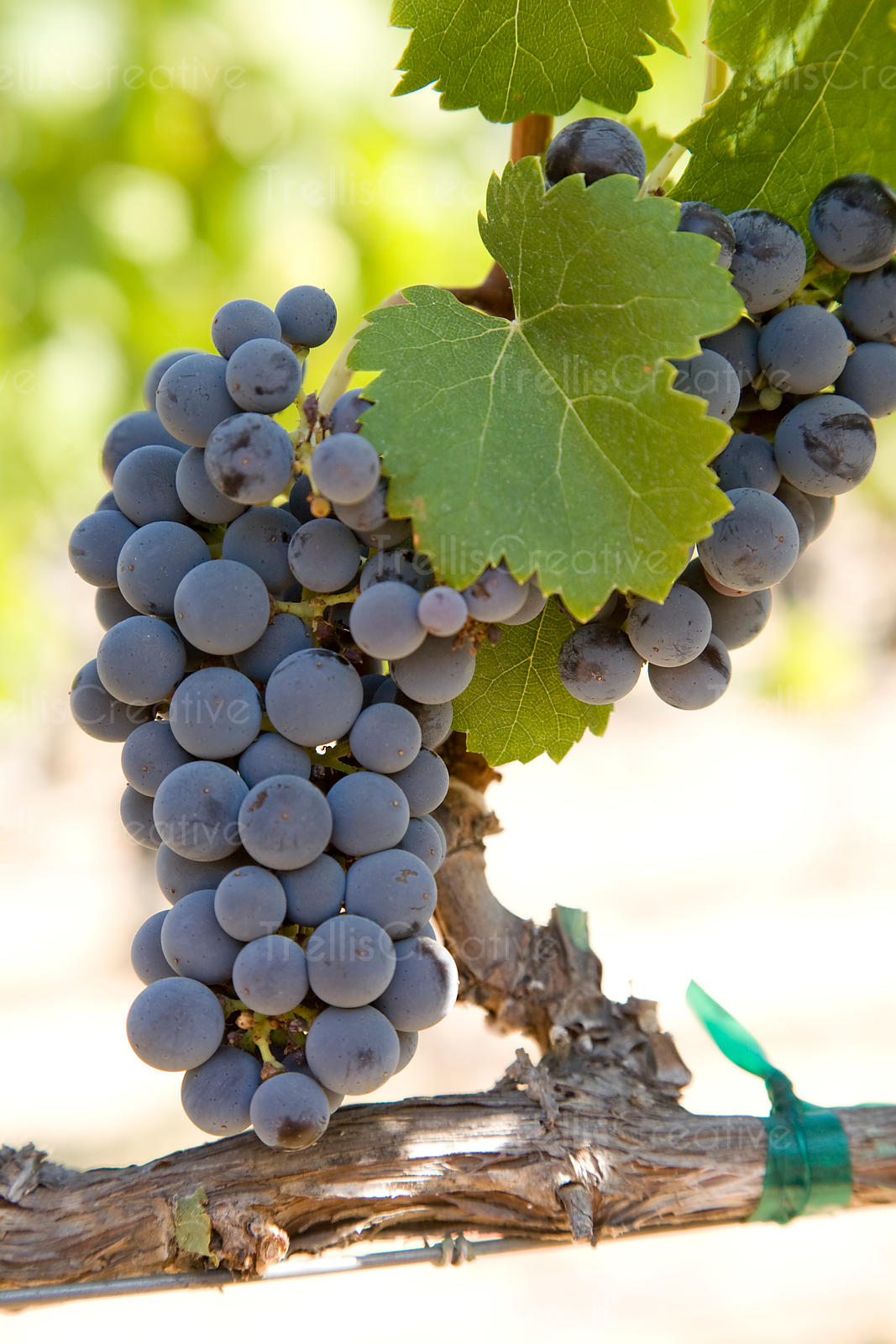 Cluster of ripe cabernet franc wine grapes on the vine