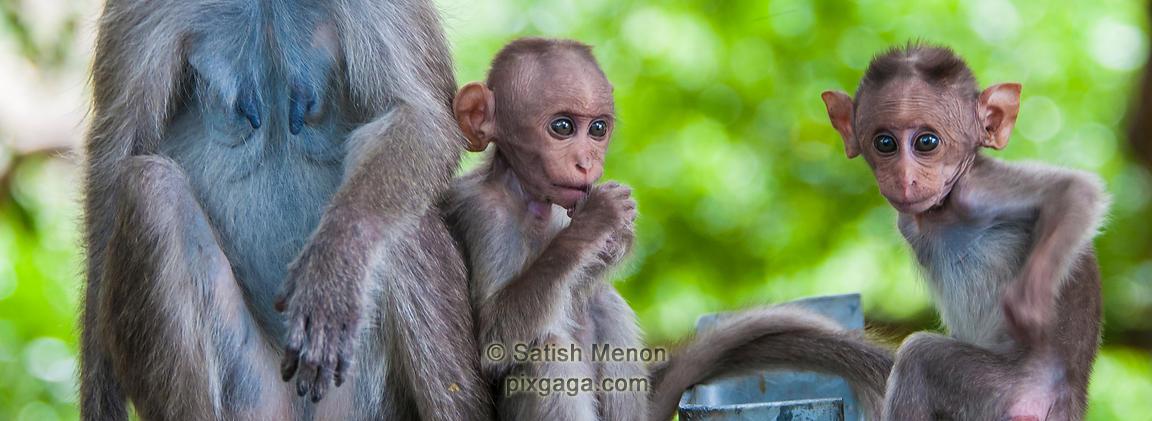 pixgaga com | Bonnet Macaque babies, Chinnar Wildlife