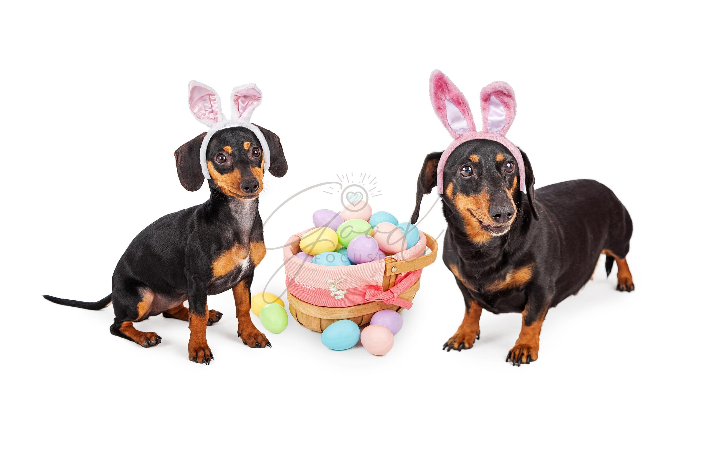 Dachshund Easter Celebration