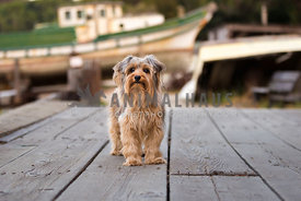 yorkie on dock near boats