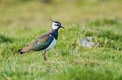 LAPWING 01A - Lapwing