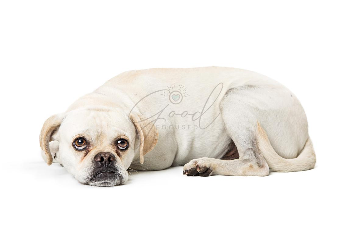 Sad Little Mixed Breed Dog Lying Down