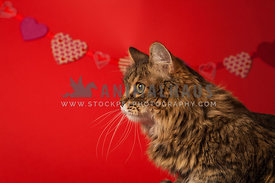 cat in studio with red hearts