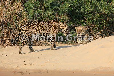 Female Jaguar 'Hunter' (Panthera onca) walks closely past 'Hero', Three Brothers River, Northern Pantanal, Mato Grosso, Brazi...