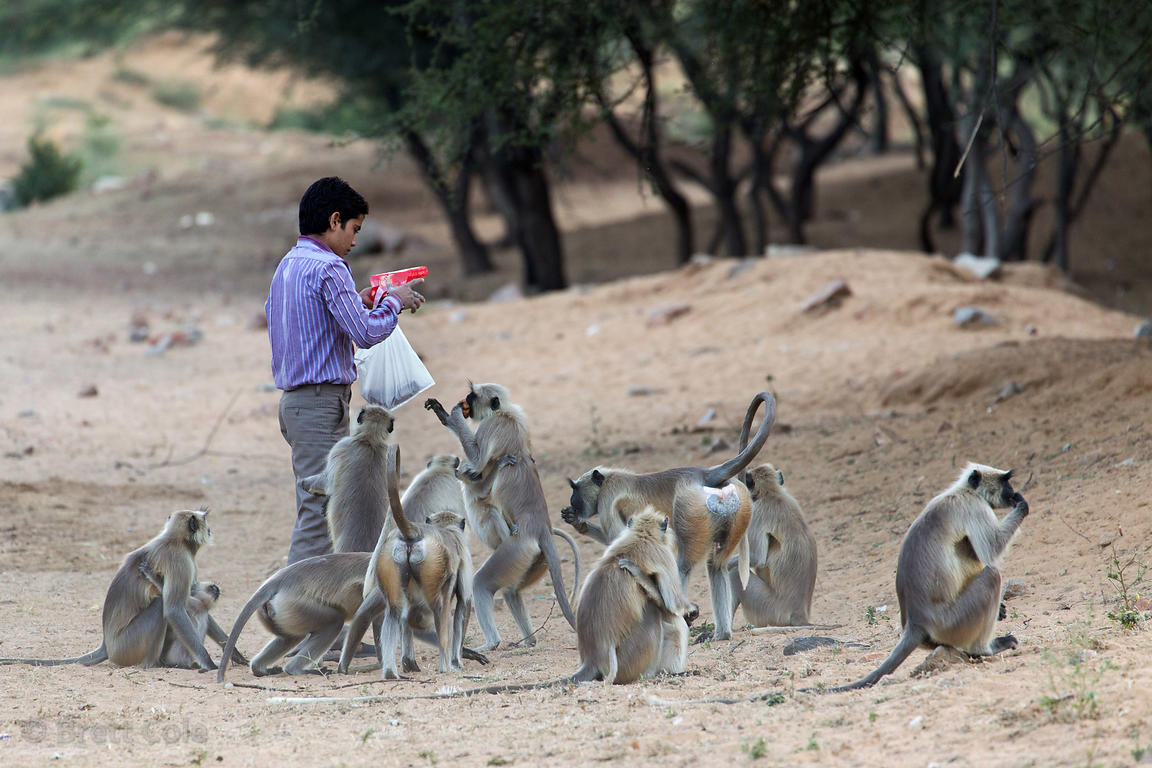 A man feeds langur monkeys on Tuesday, Pushkar, Rajasthan, India. Tuesday and Saturday are considered days for charity by Hin...