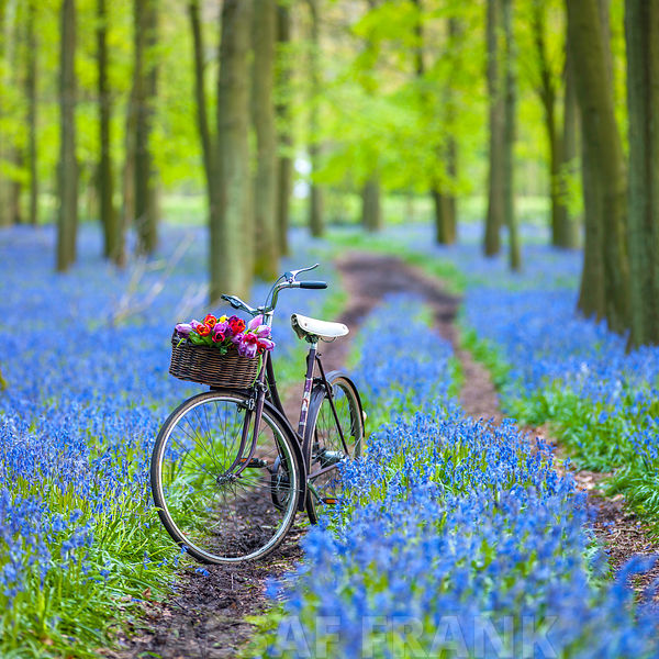 Blubells Carpet Cycle II