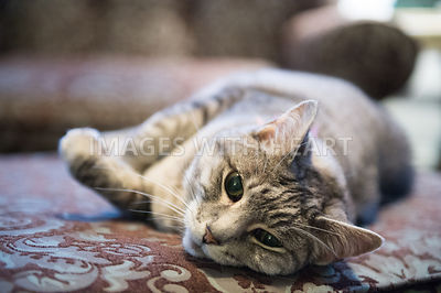 Gray tabby laying on floor at home