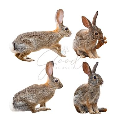 Brown Rabbit in Four Positions