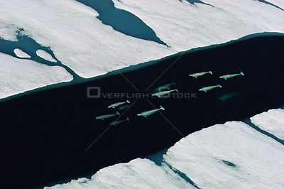 Aerial view of Beluga whales (Delphinapterus leucas) swimming through crack in ice sheet, Canadian Arctic, summer, July 1993