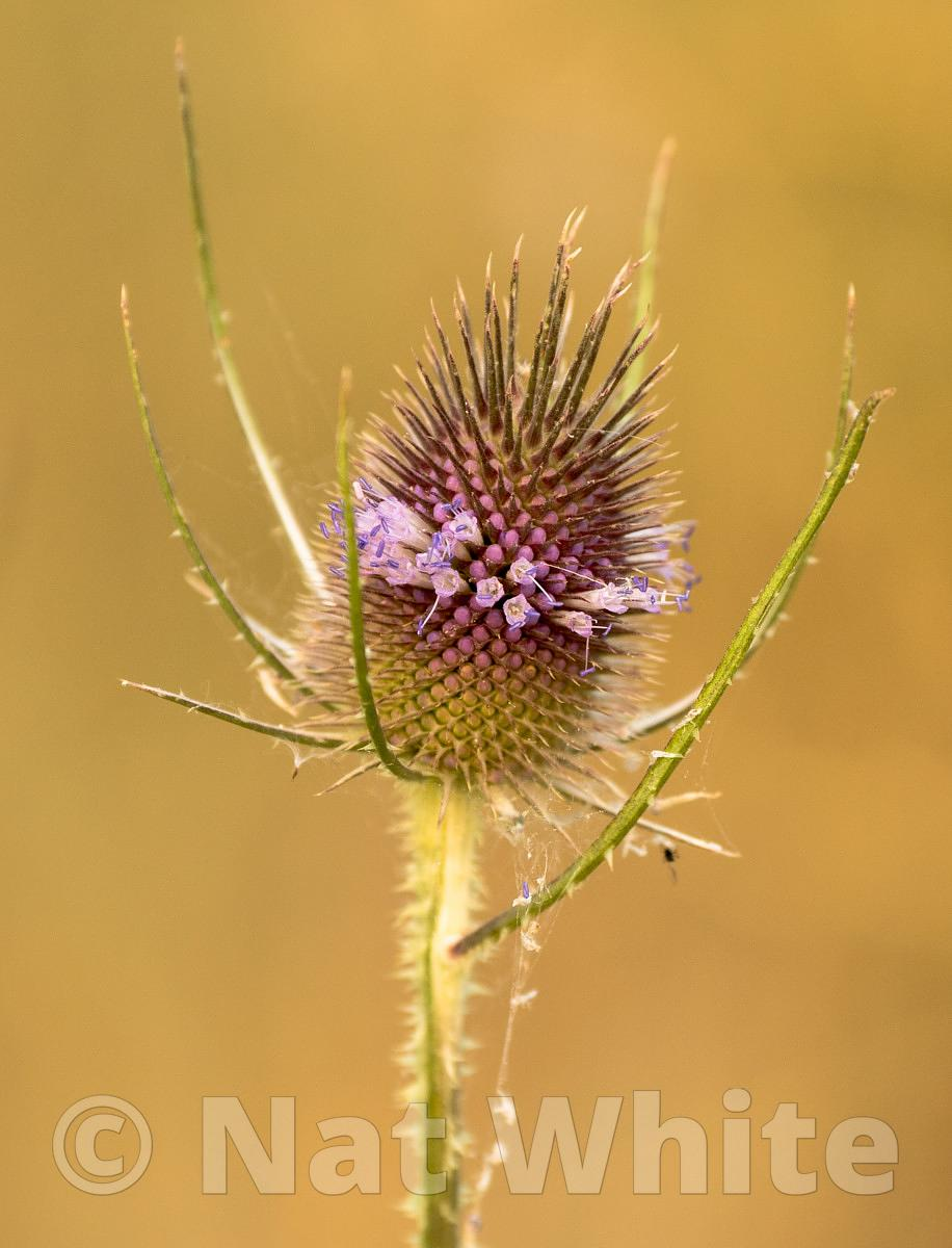 Thistle-60_August_08_2017_
