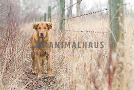 Golden retriever standing next to fence