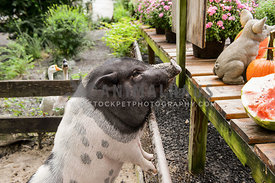 pot belly pig leaning on fence