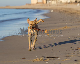 yellow dog running on the beach beside the waves carrying a large wooden stick
