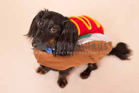 Long-haired dachshund dog in hotdog costume