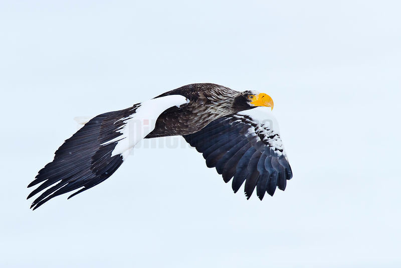 Steller's Eagle in Flight