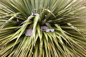 Leaves at the base of the Puya raimondii plant damaged by stones