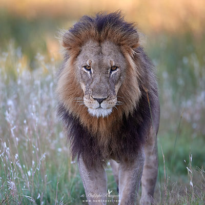 Male lion standing still in shade