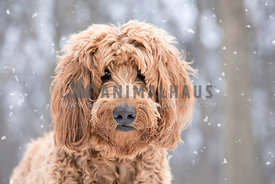 Dreamy romantic closeup portrait of young brown golden doodle dog in the snow filled forest