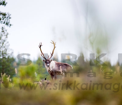 Male Wild forest reindeer