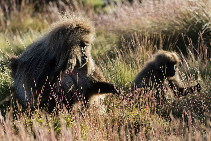 Gelada Baboons Foraging for Grass Seeds