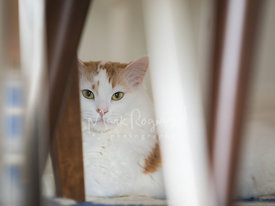 Close-up of White and Orange Cat Hiding Under Chair