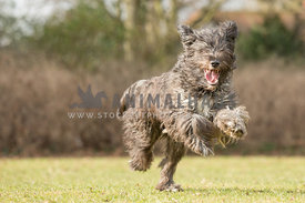 Hairy scruffy large mixed breed dog running with expressive face against grass background