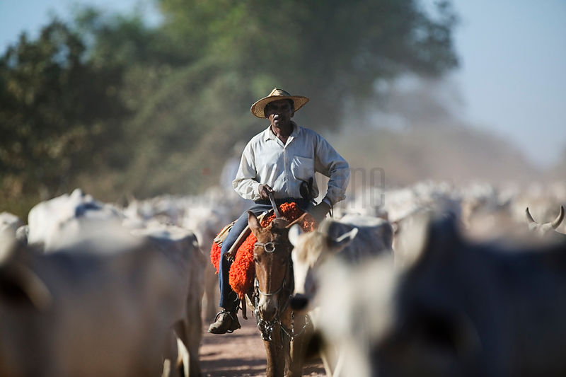 Pantaneiro (cowboy) on Cattle Drive, Transpantaneira Highway, Pantanal, Mato Grosso, Brazil