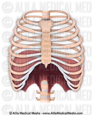 The thoracic diaphragm.