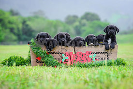 Black labrador puppies for christmas