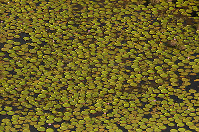 Aerial view of Giant Amazon / Royal water lily (Victoria amazonica) leaves covering the surface of  permanent ponds in the sa...