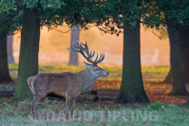Red Deer Cervus elaphus stag  at dawn during rut Bushy Park London October