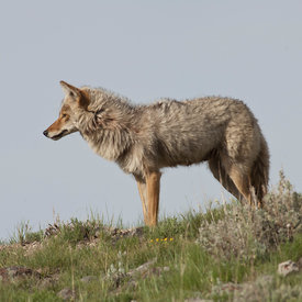 Coyote wildlife photos