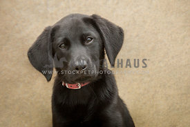 headshot of black Labrador puppy wearing red collar
