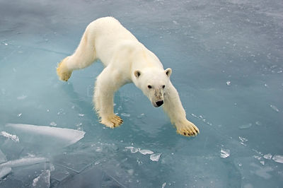 Polar Bear (Ursus maritimus) on pack ice, Svalbard,  Norway. Arctic. September.