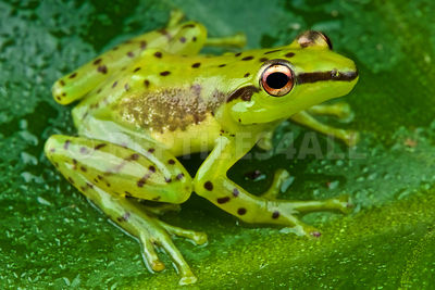 Speckled glass frog  (Mantidactylus pulcher)