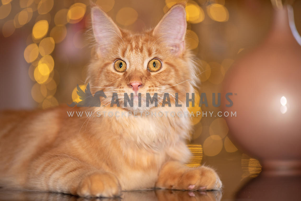 close up of orange maine coon lying on table in front of gold lights