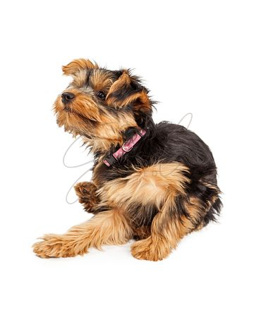 Yorkshire Terrier Dog Scratching