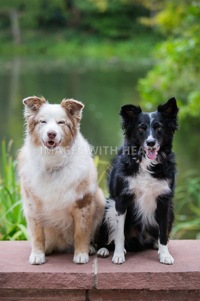Two Dogs Sitting In Front of Pond