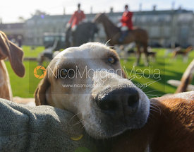 Friendly hound at the meet - Fitzwilliam Hunt Opening Meet 2016