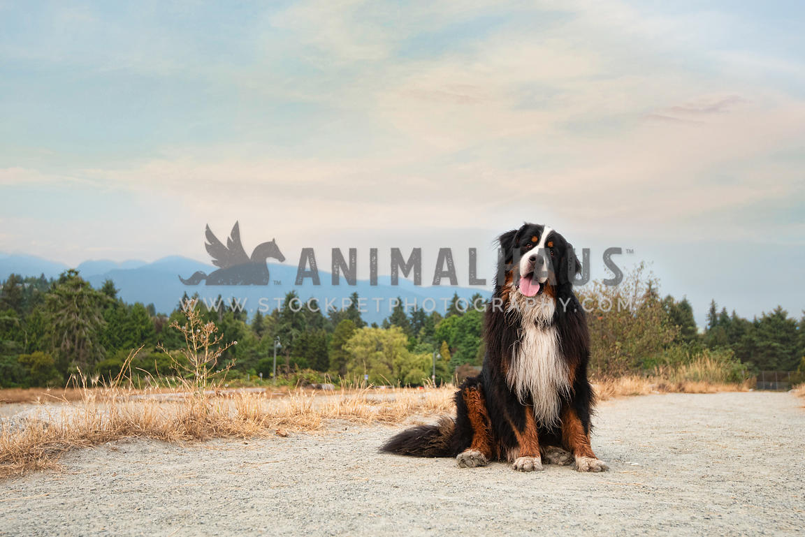 Bernese mountain dog with head tilt sitting with mountains in the background