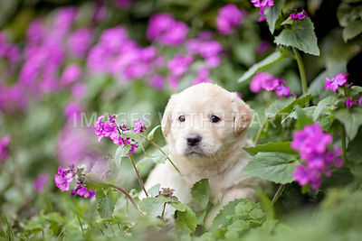 Golden Retriever puppy sitting in flower patch