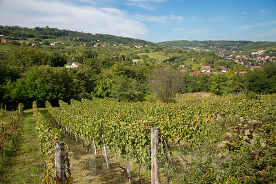 Lines of Vines in Hungary